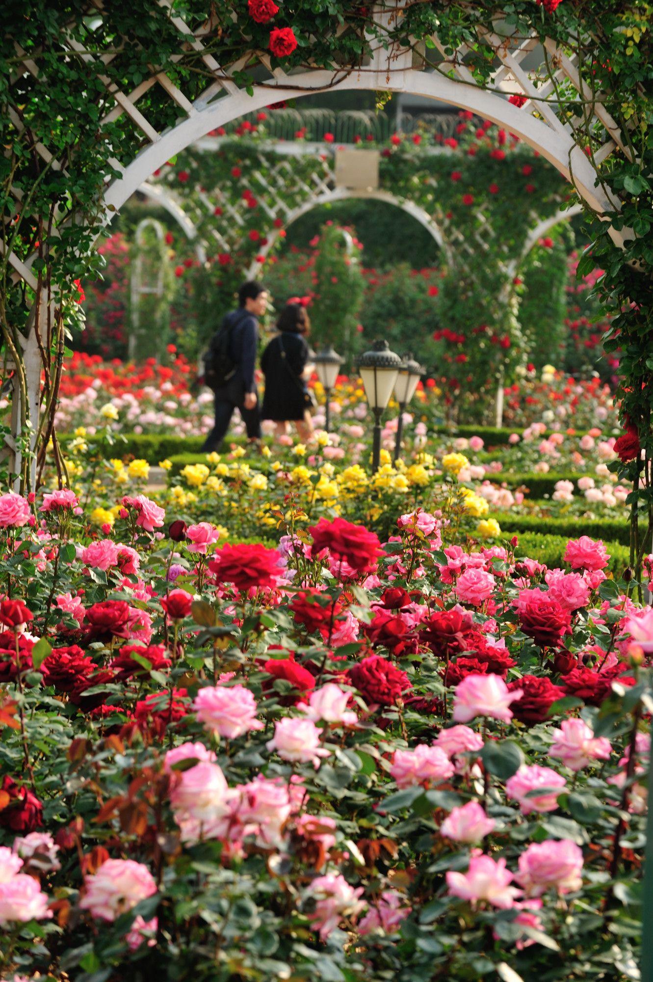 에버랜드 장미원 (Rose garden in Everland) Garden history