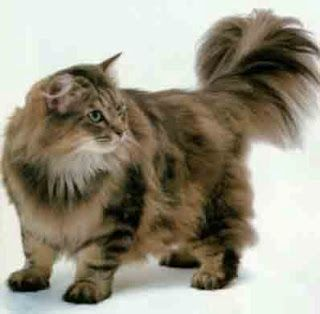 Long Haired Cats Fun Animals Wiki Videos Pictures Stories Norwegian Forest Cat Cats Ragamuffin Cat