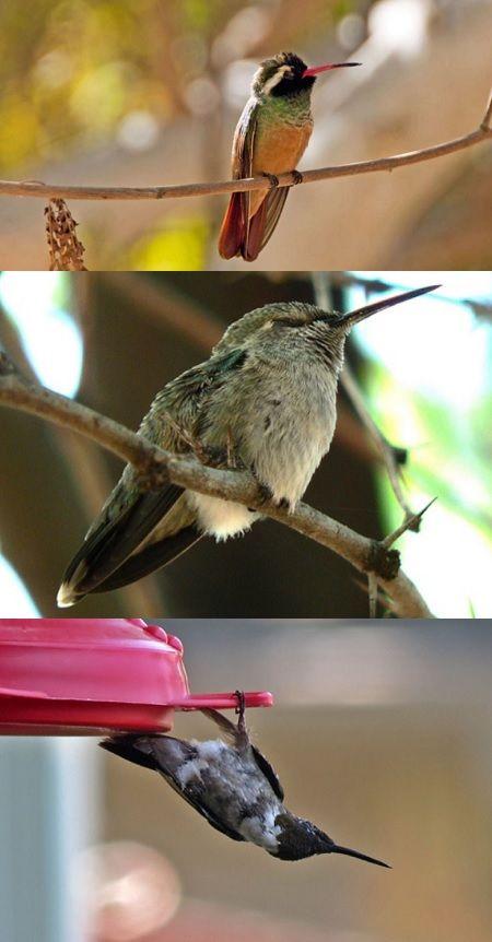 How Do Hummingbirds Sleep Hummingbirds Sleep Bird Birds Unusual Animals Colorful Birds Hummingbird