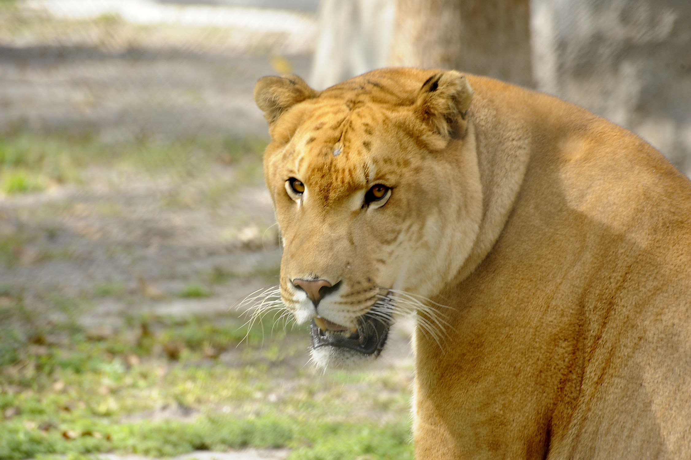 Brutus the Liger Animals, Animal conservation, Big cat