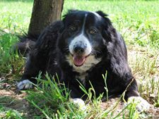 Border Collie Rescue Of Northern Ca Dogs Dogadoption With Images Border Collie Rescue Collie Rescue Collie