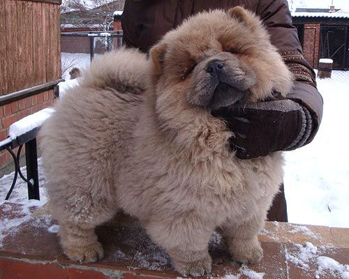 Cinnamon Chow Chow Puppies Chow Chow Chow Chow Females Of