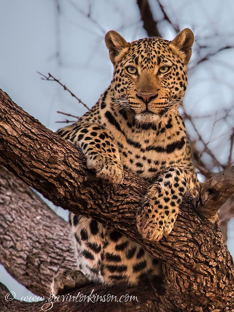 Arboreal King by Gavin Tonkinson on 500px African