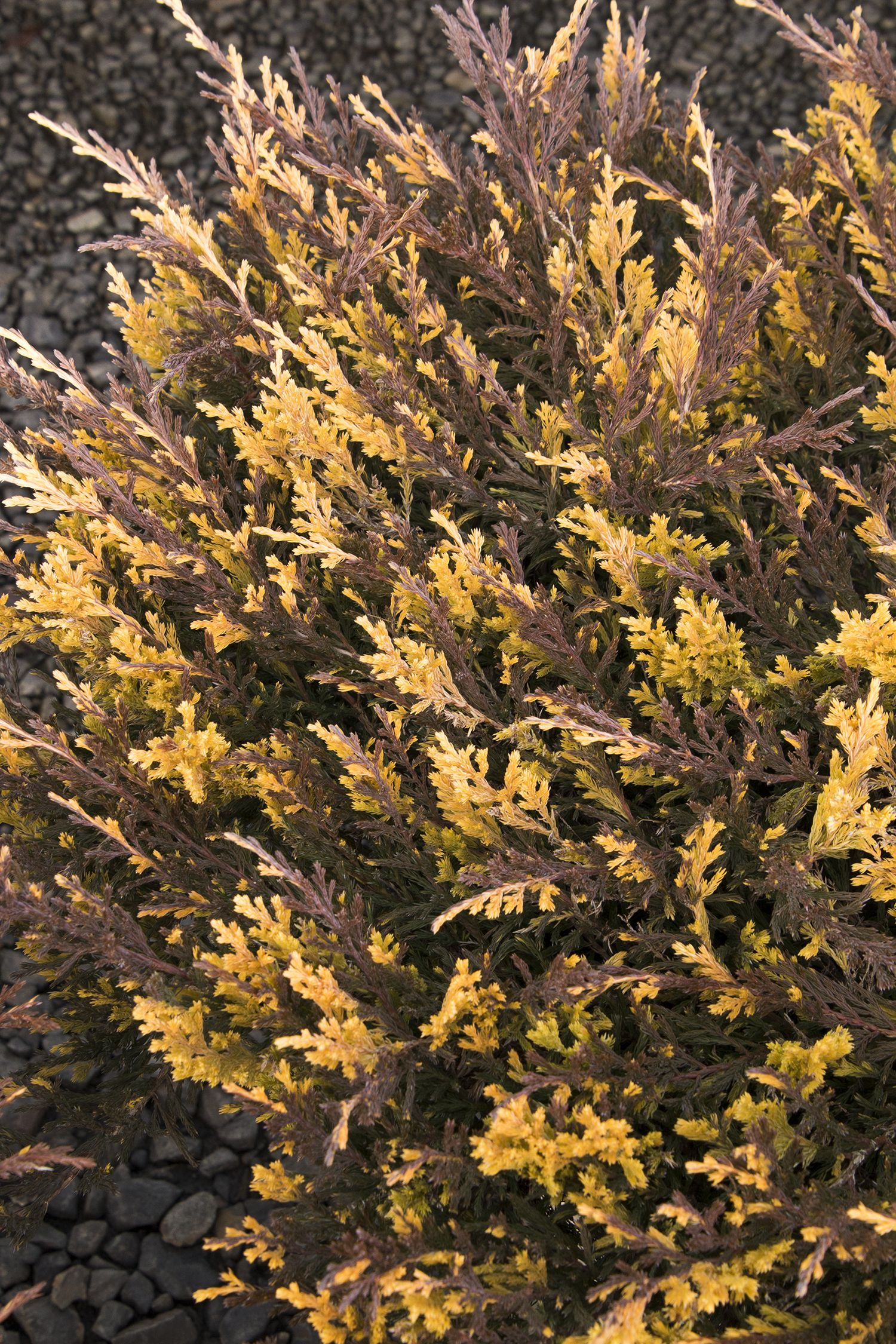 Jazzy Jewel™ Andorra Juniper Exceptional bright green and gold-splashed foliage becomes tinged with bronze and purple tones during the winter months. Full sun. Reaches up  2 ft. tall, spreading to 6 ft. wide. Zone 3-9