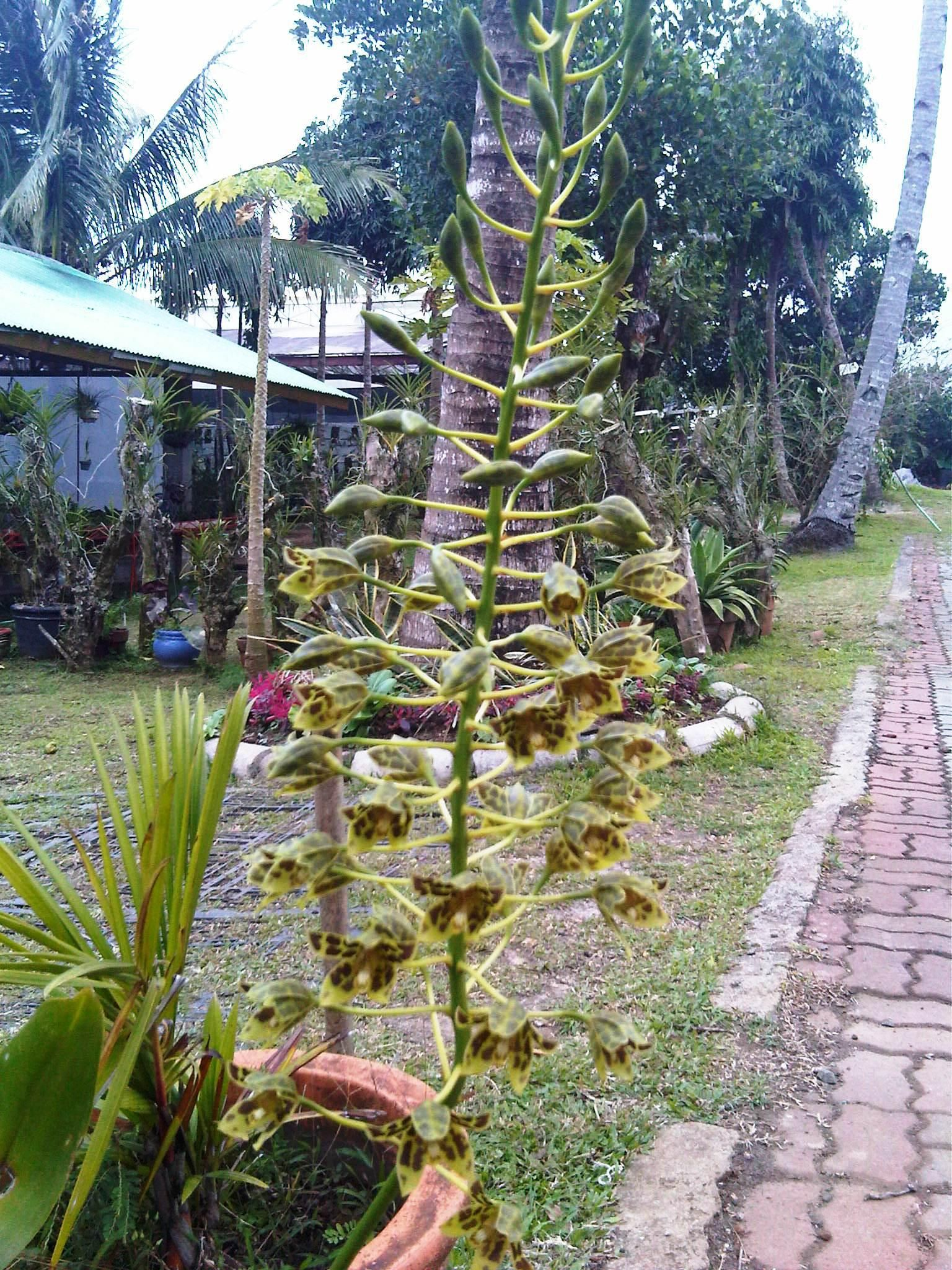 Gramatophylum Plants, Flowers, Philippines