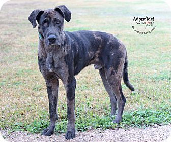 Houston Tx Great Dane Catahoula Leopard Dog Mix Meet Baloo A