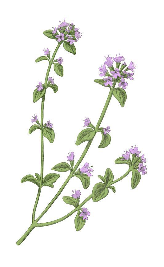 Flowering Thyme Illustration Illustration Blume Botanische Abbildungen Blumenzeichnung