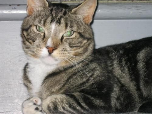 Meet Bertie A Petfinder Adoptable Domestic Short Hair Cat Albany Ny Bertie Was Somebody S Pet Before He Got Dumpe Short Hair Cats Cats Domestic Short Hair