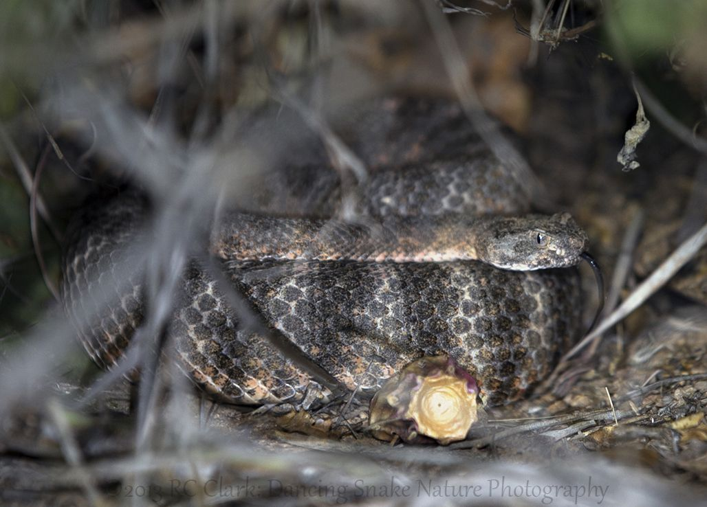"#Snakes - ""cold blooded tiger"" - #Tiger #Rattlesnake (Crotalus tigris) Found under a bush, here is another beautiful Arizona Rattlesnake  ©2013 RC Clark: Dancing Snake Nature Photography"