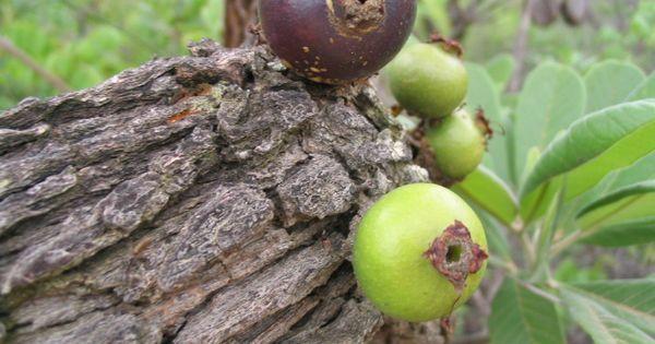 Macaúbas (Bahia) Brasile | Puçá. Macaúbas, Bahia. | Frutas | Pinterest | Bahia e Norte