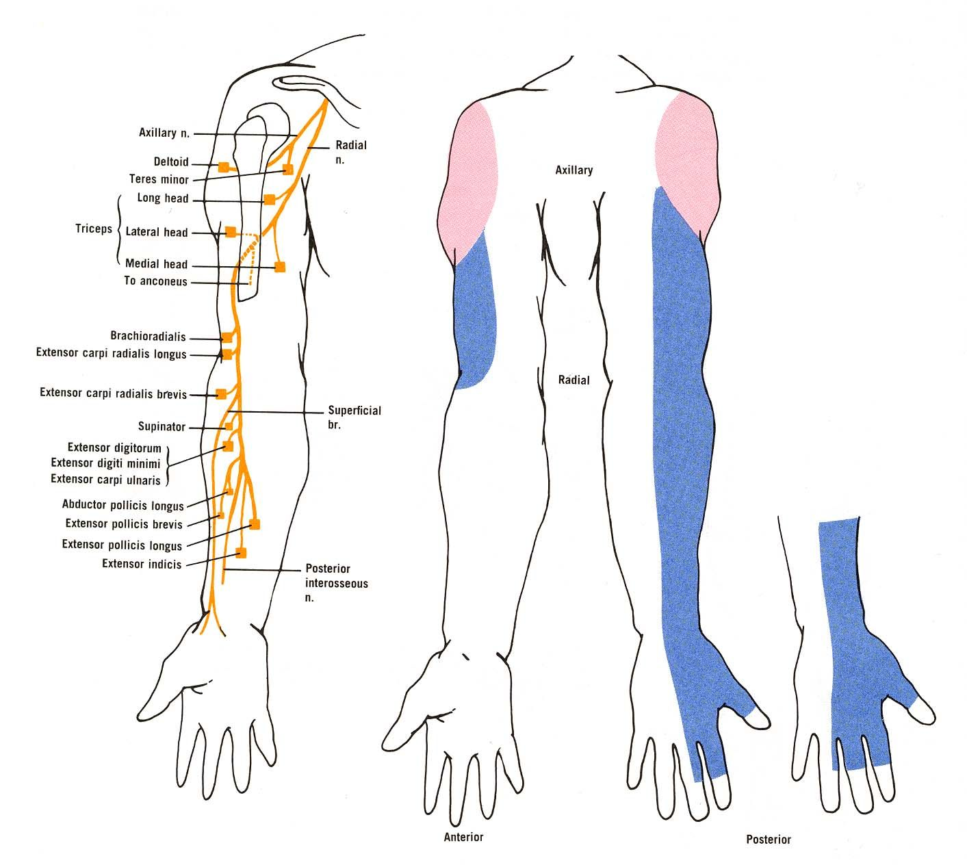 Diagram Of The Muscular And Cutaneous Branches Of The