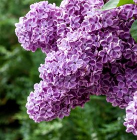 Growing Lilacs Planting Caring For Lilac Bushes Lilac Bushes Lilac Plant Bush Garden