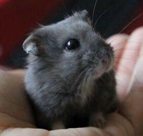 Grey Roborovski Dwarf Hamster Hamster Cages Cute Hamsters