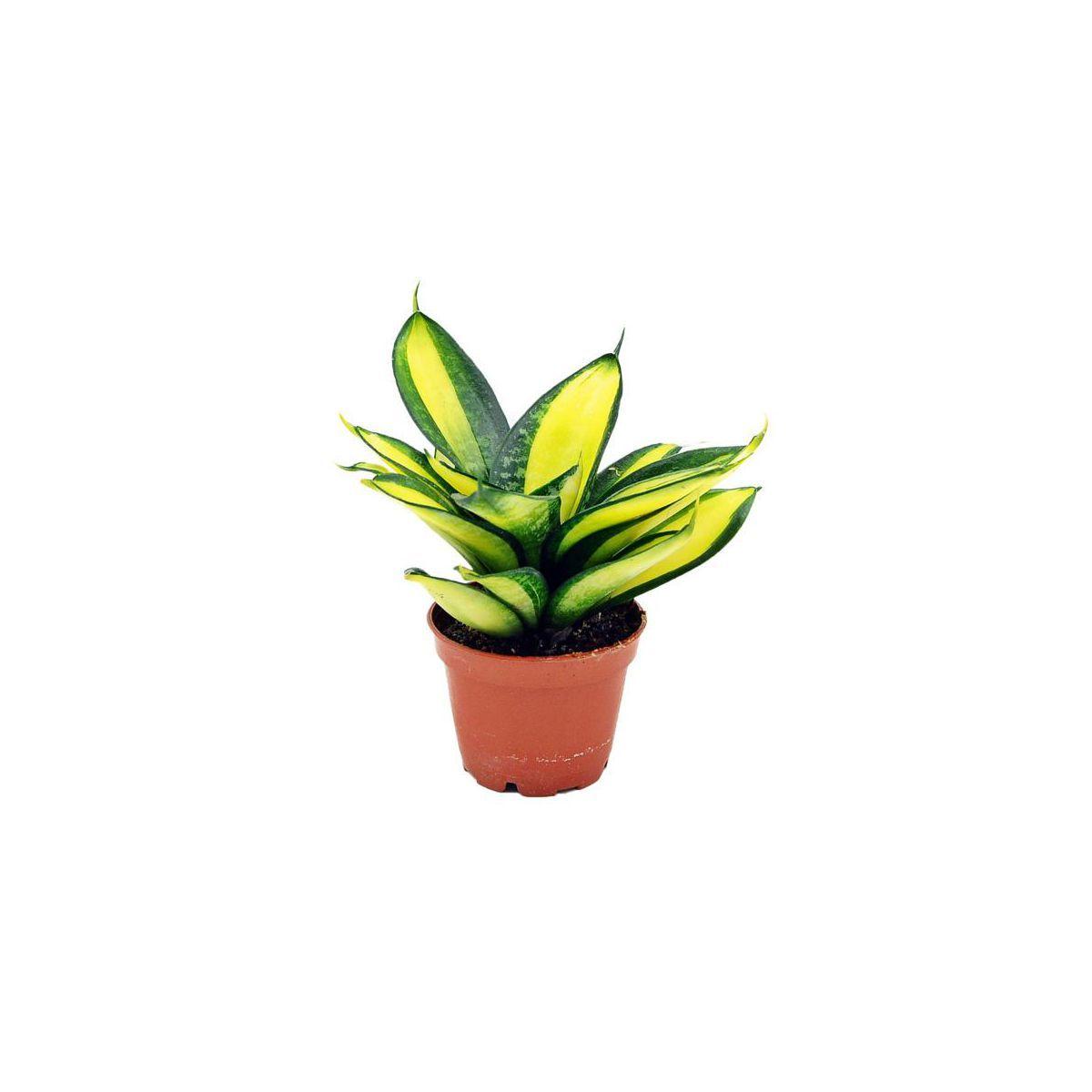 Sansewieria Gwinejska Hahnii Mix 10 Cm Kwiaty Doniczkowe W Atrakcyjnej Cenie W Sklepach Leroy Merlin Leroy Merlin