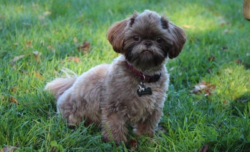 Sunnybelle Shih Tzus In Texas Find Your Shih Tzu Puppy Good Dog In 2020 Shih Tzu Puppy Shih Tzus Shih Tzu