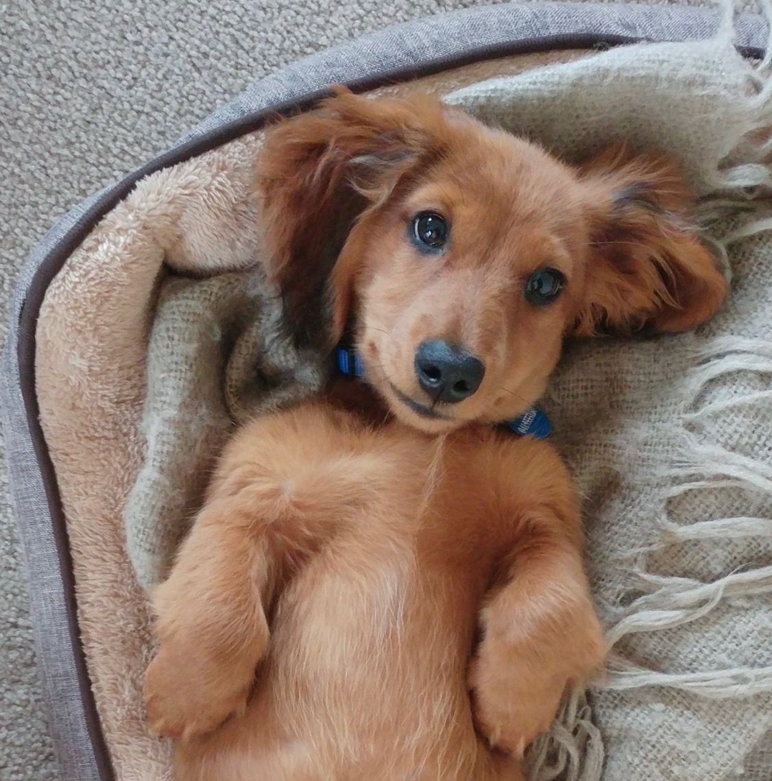 What A Beautiful Face Baby Dachshund Dachshund Puppy Miniature