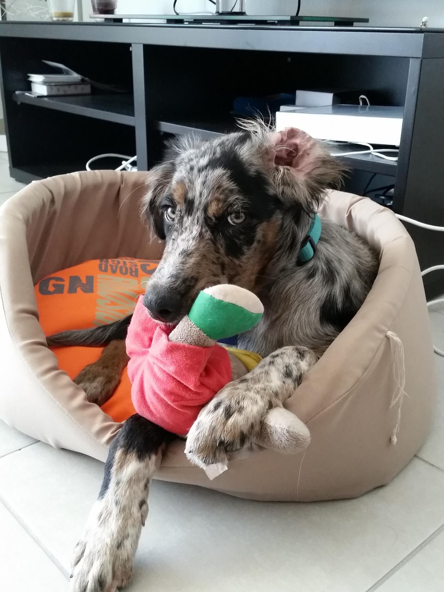Merlin AUSTRALIAN SHEPARD Pawshake Winnenden Hunde