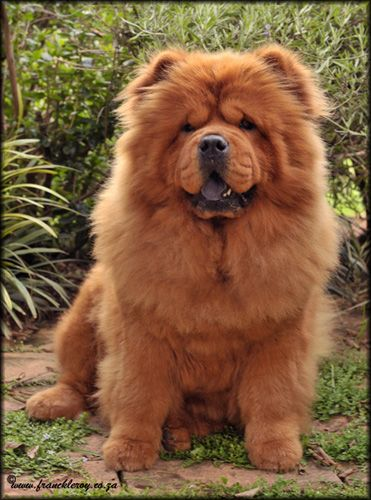 Nurya Ch Ciao Ring Of Fire Chow Chow Female Fluffy Dogs Chow