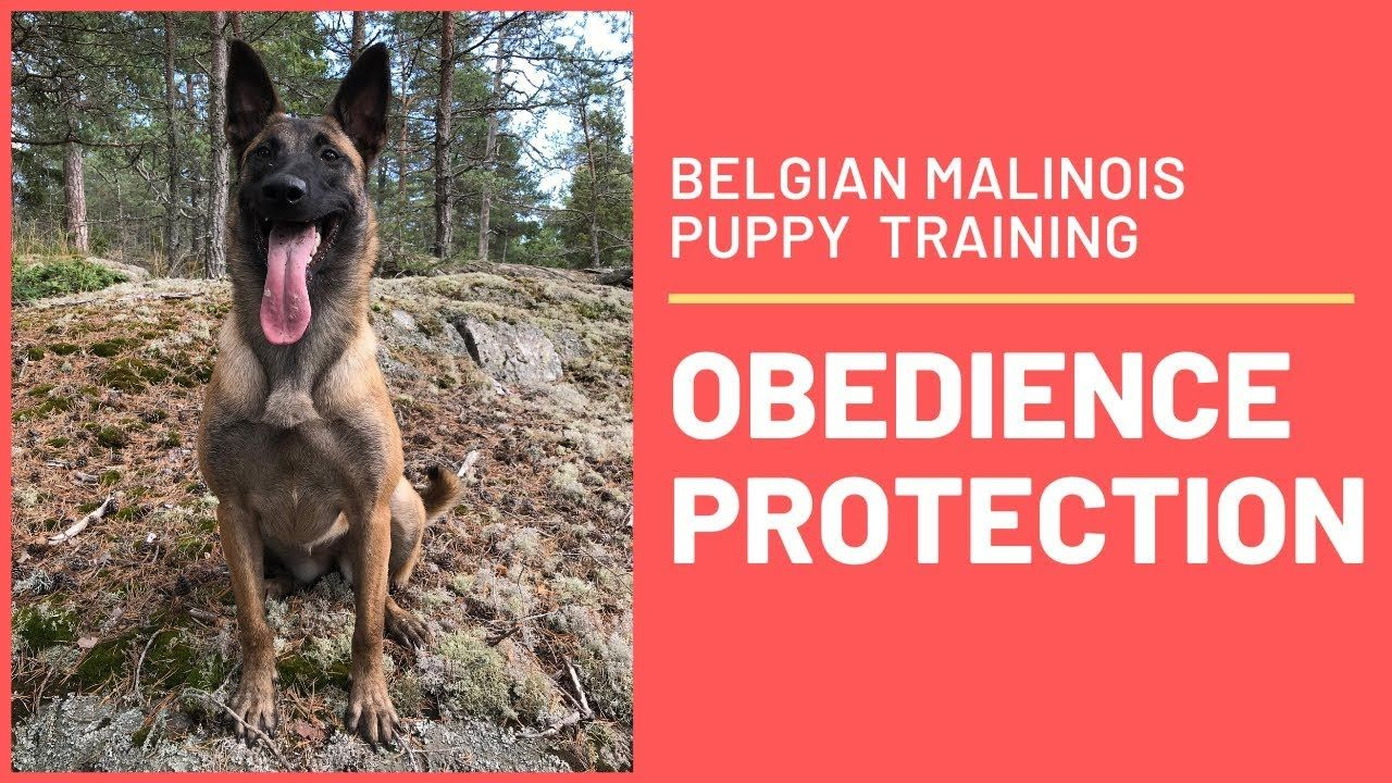 Belgian Malinois Puppy The First 6 Months Of Obedience And Protection Training Youtube Malinois Puppies Belgian Malinois Puppies Puppy Training