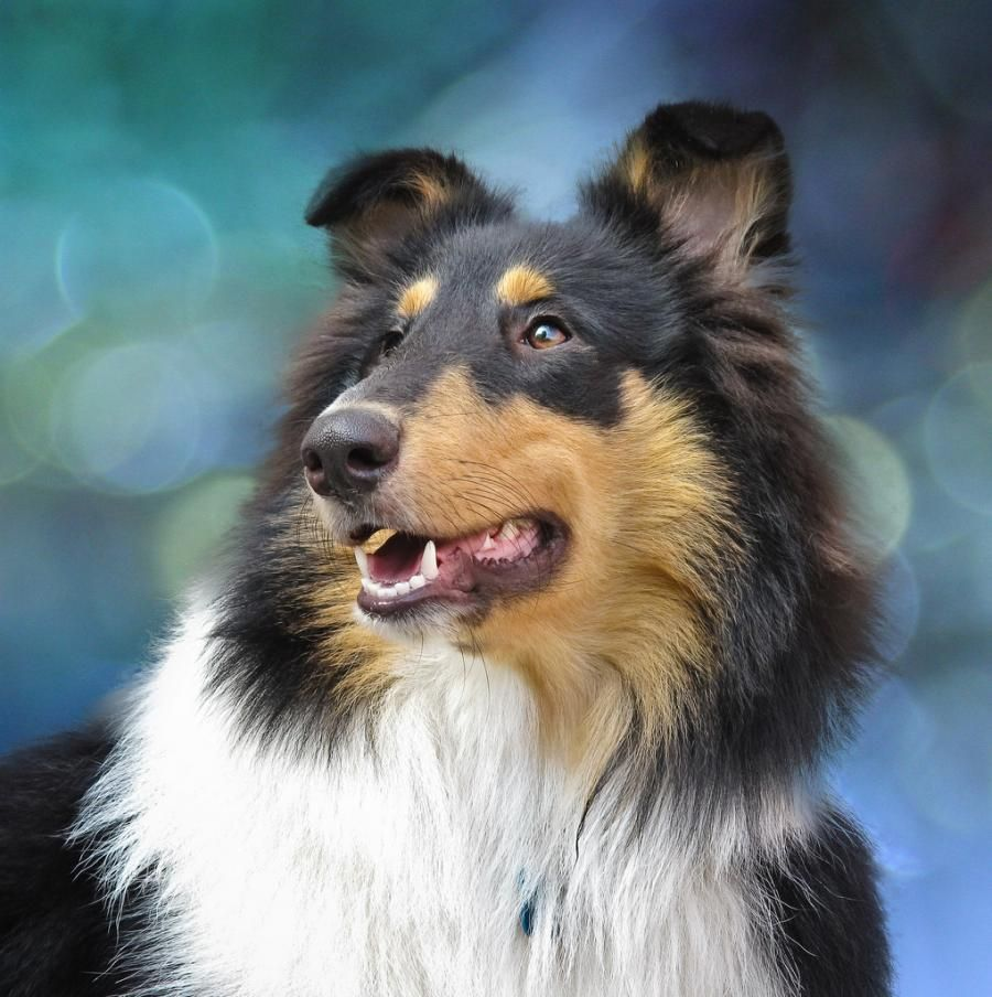 Rough Collie Dog Breed Info Rough Collie Dog Breeds