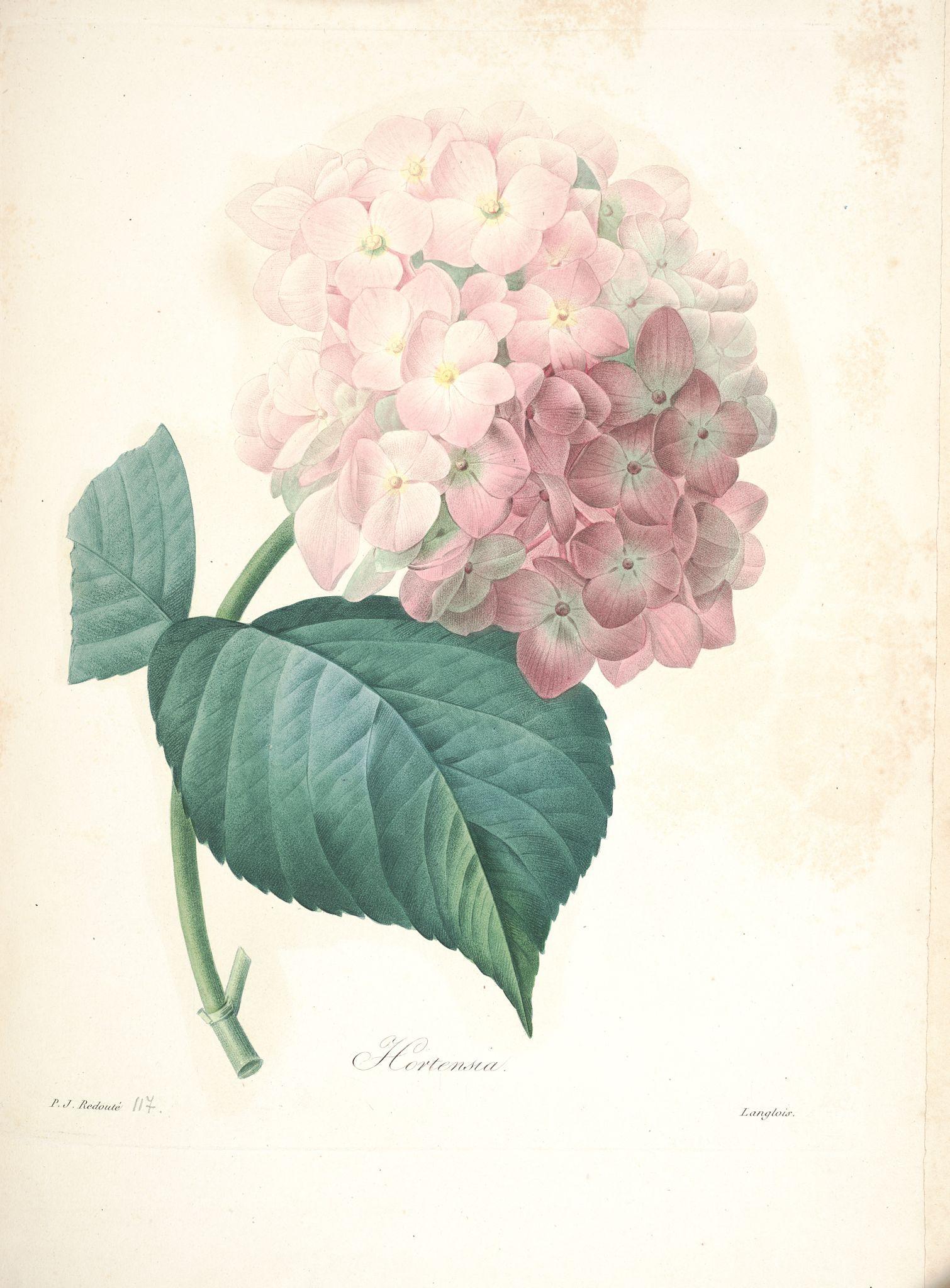 Gravures De Fleurs Par Redoute Gravures De Fleurs Par Redoute 142