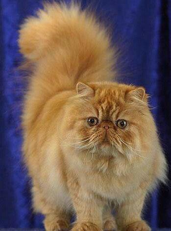 Cute Orange Kittens Wallpaper Fluffy Flat Face Kitty Popular Cat Breeds Beautiful