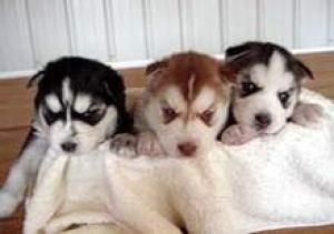 Pure Breed Adorable Siberian Husky Puppies Available For Free