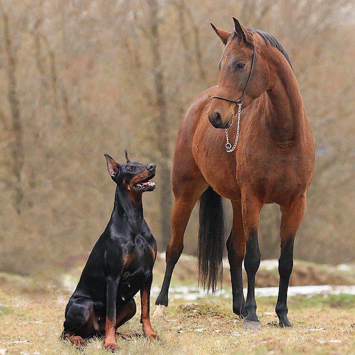 Pinterest doberman | BFFs | Doberman Gang. Two of the most amazing animals.