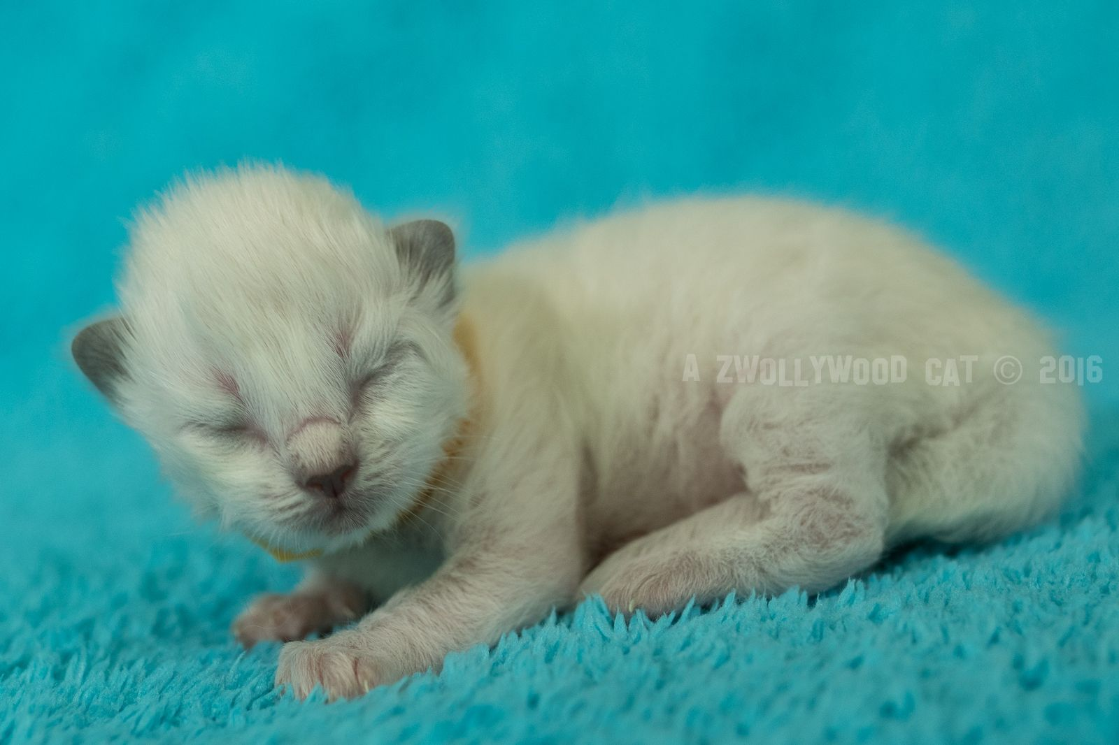 2016 Arya A Zwollywood Cat. 1 Week old. Ragdoll kitten