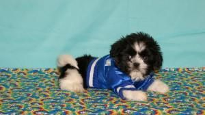Scooby Is An Adoptable Shih Tzu Dog In Alpharetta Ga Scooby Is A
