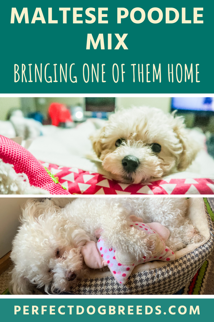 Maltese Poodle Mix For Sale In 2020 Maltese Poodle Mix Maltese Poodle Poodle Mix