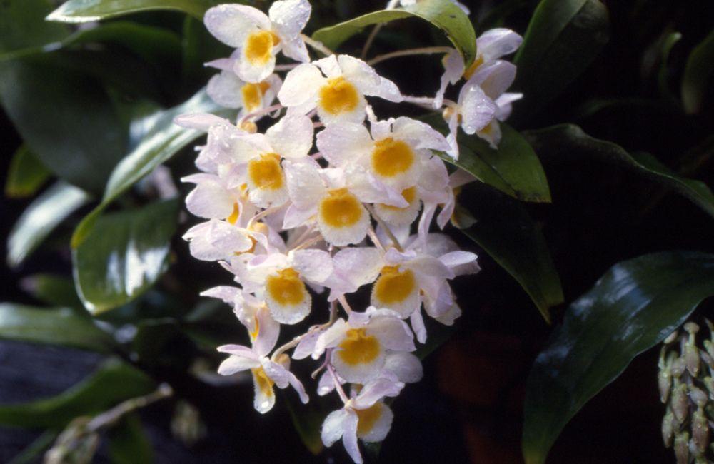Dendrobium Farmeri In Situ Wild Orchid Orchids Beautiful Orchids