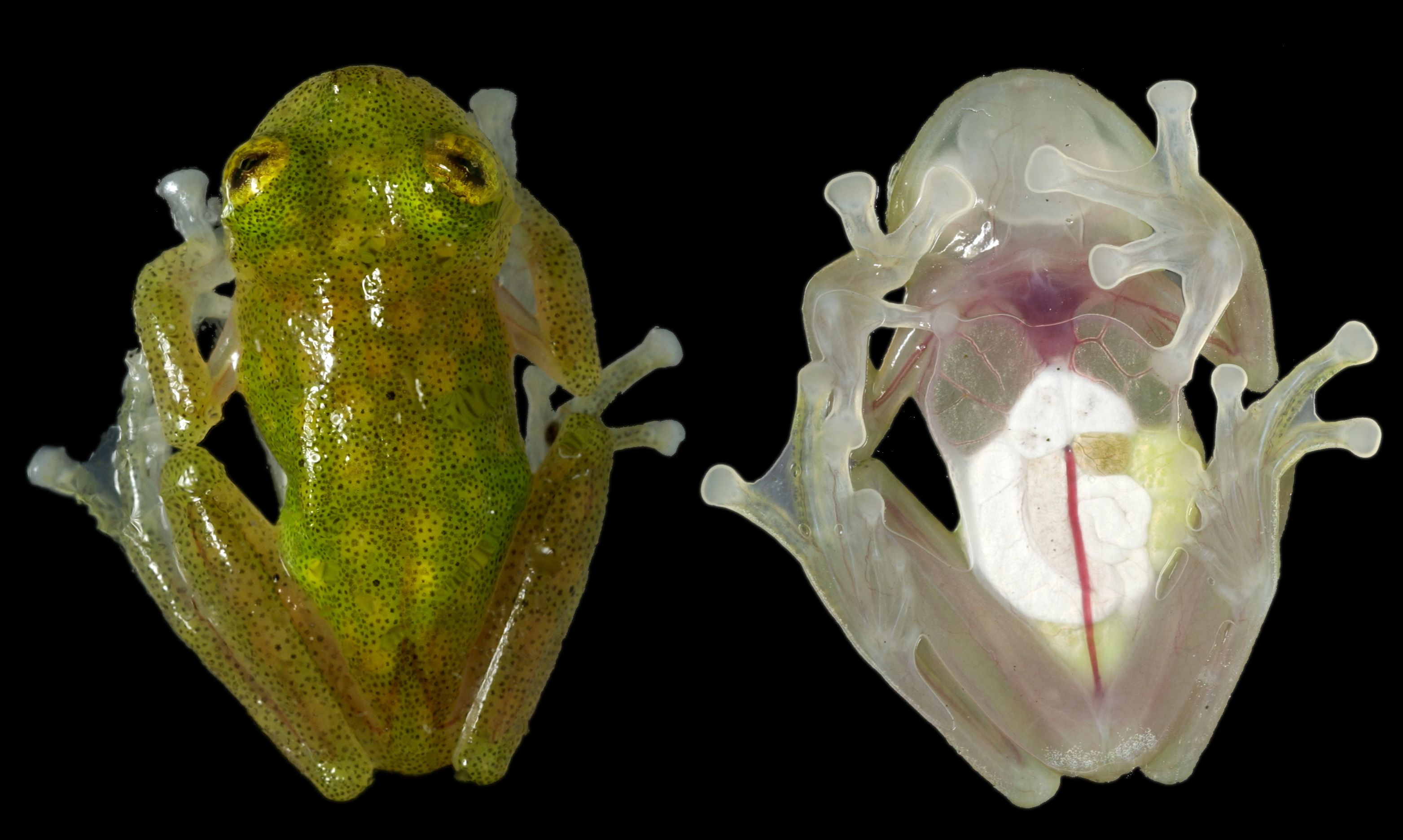 Glass Frogs (family Centrolenidae) Unusual animals