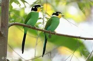Pin Van Indra Op Birds