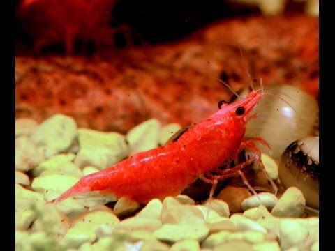Cherry Shrimp Neocaridina Davidi Var Red Species Spotlight Cherry Shrimp Pet Shrimp Shrimp