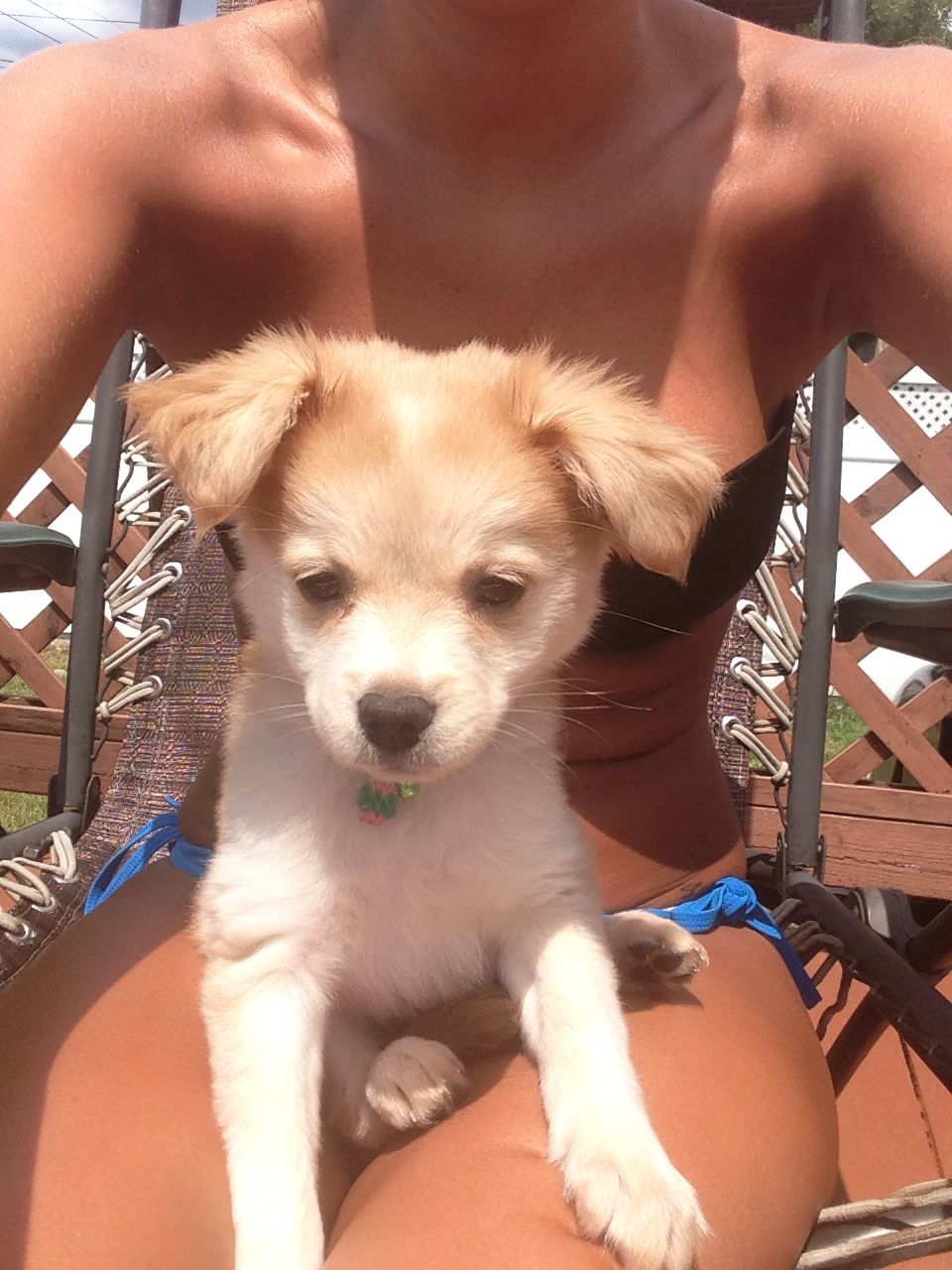 Penny a Pomchi mix Puppies, Dogs