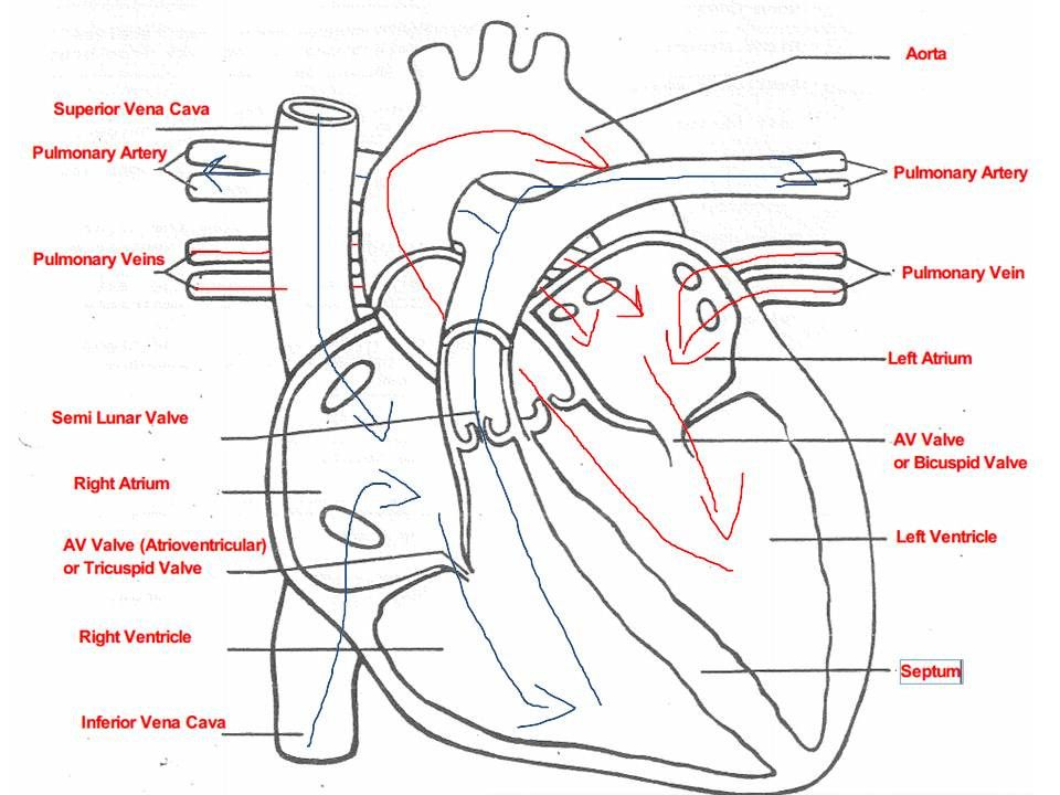 Labeling Parts Of the Heart New 301 Moved Permanently in ...