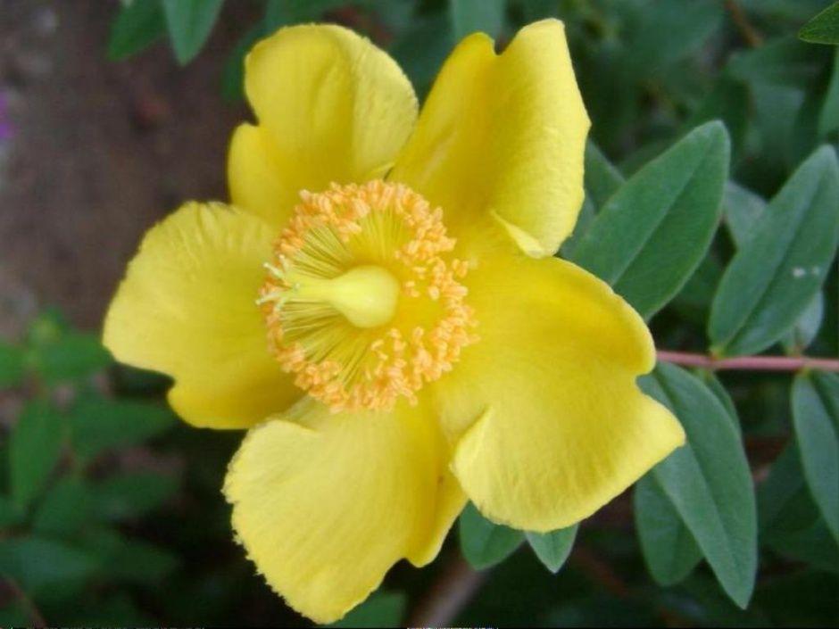 63.갈퀴망종화꽃에 대한 이미지 검색결과