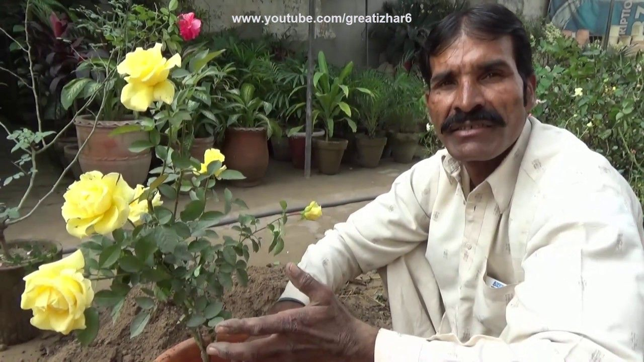 Difference in English Rose & Desi Rose Planting Roses in