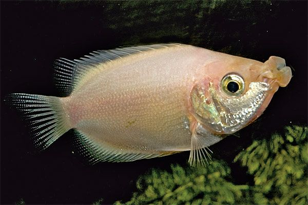 Kissing Gourami Tropical Fish Kissing Gourami Fish