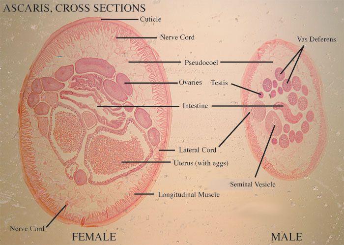ts of male ascaris