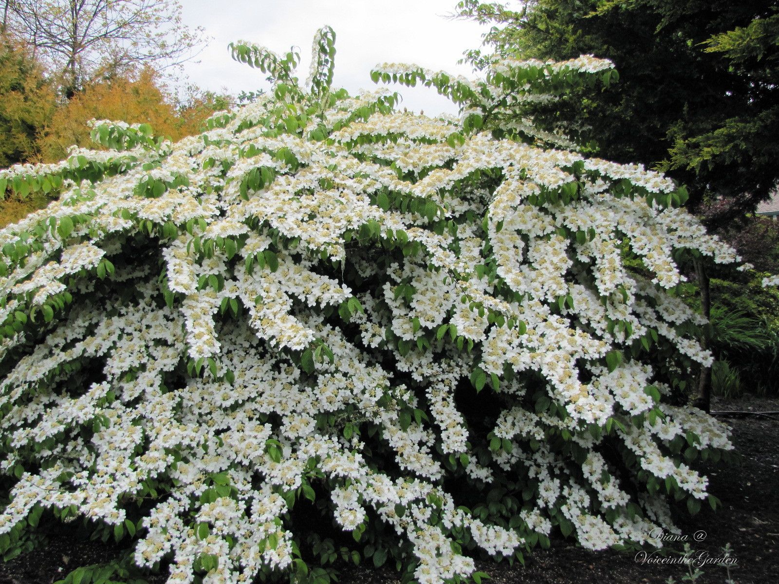 Etagen Schneeball related image 4233 shadyglade plants shrub gardens