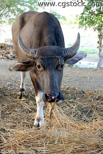 Philippines - Carabao | Knowledge : General | Pinterest | Philippines