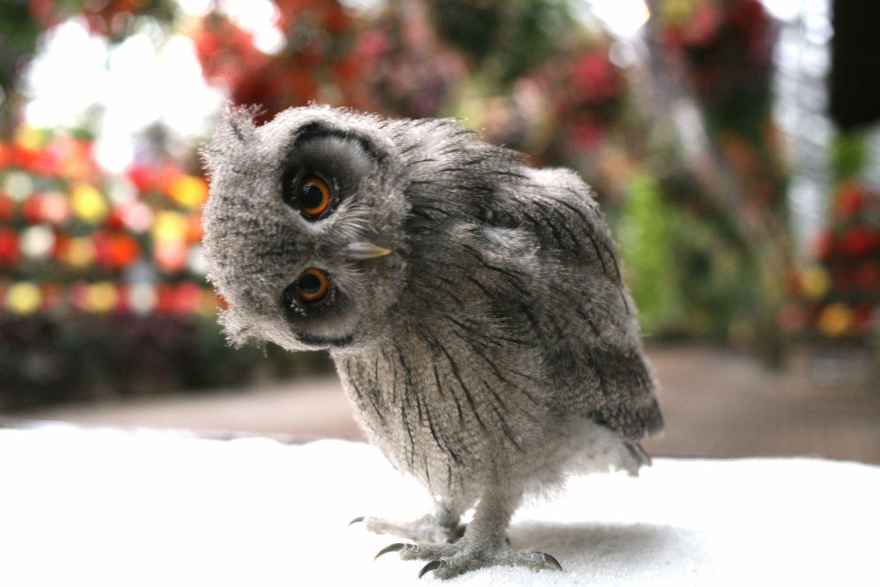 フクロウと触れ合える 東池袋の ふくろうカフェ が今人気上昇中 Retrip ペットの鳥 フクロウの赤ちゃん フクロウ