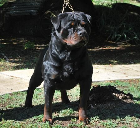 German Rottweiler Puppies For Sale Von Ruelmann Rottweilers Inc