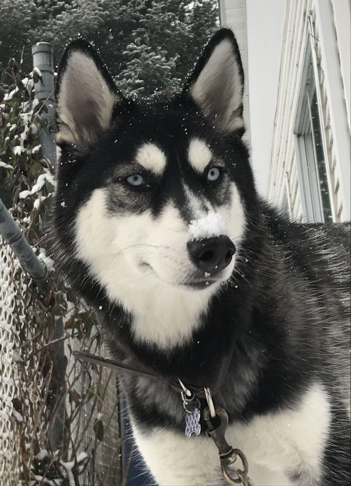 MAVIE ️ (husky sibérien) (With images) Puppy training