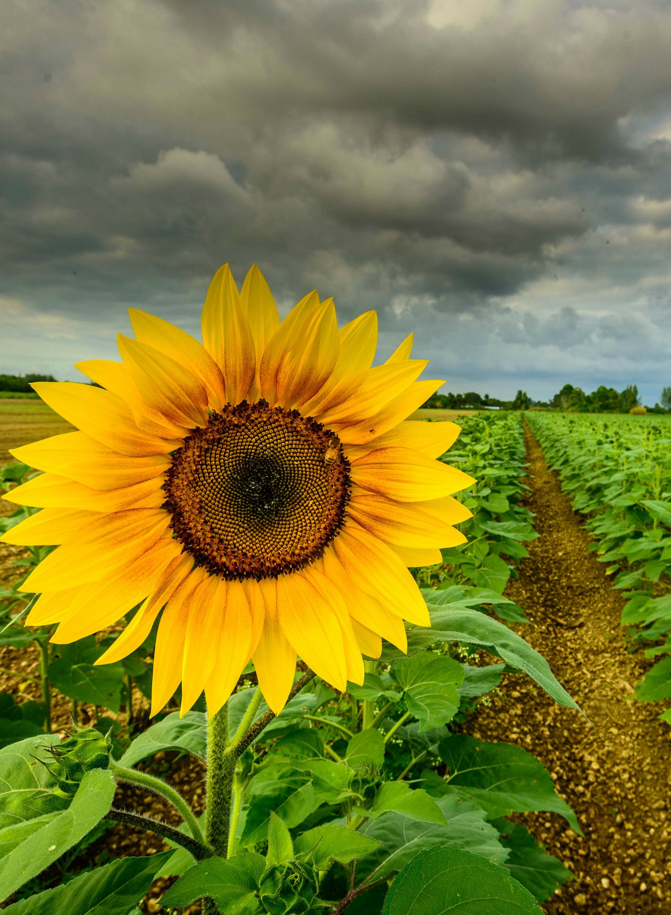 Sunflower Photography, Flowers