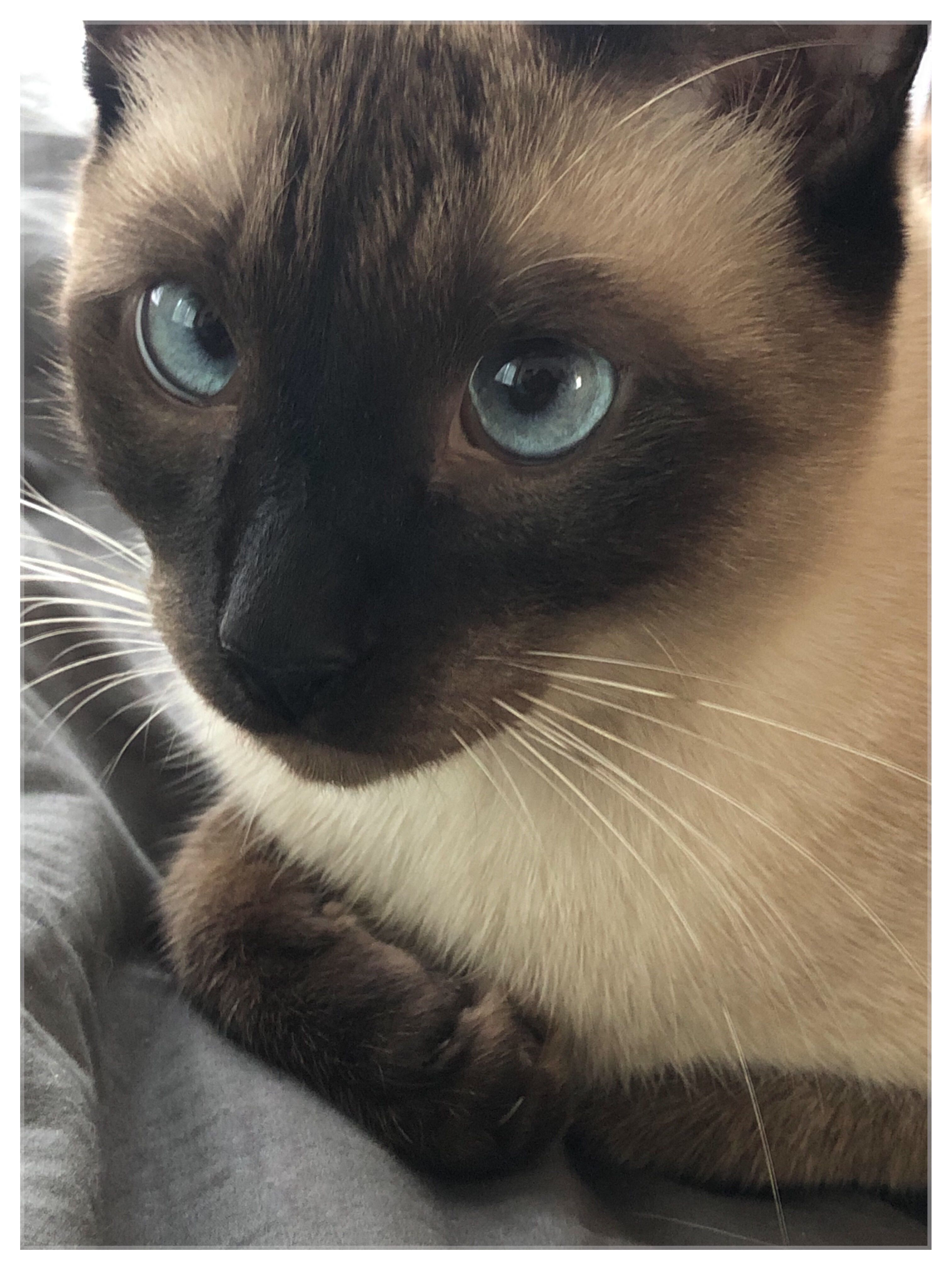 Siamese Cats Catlovers Siamesecatsofinstagram Cute Cats