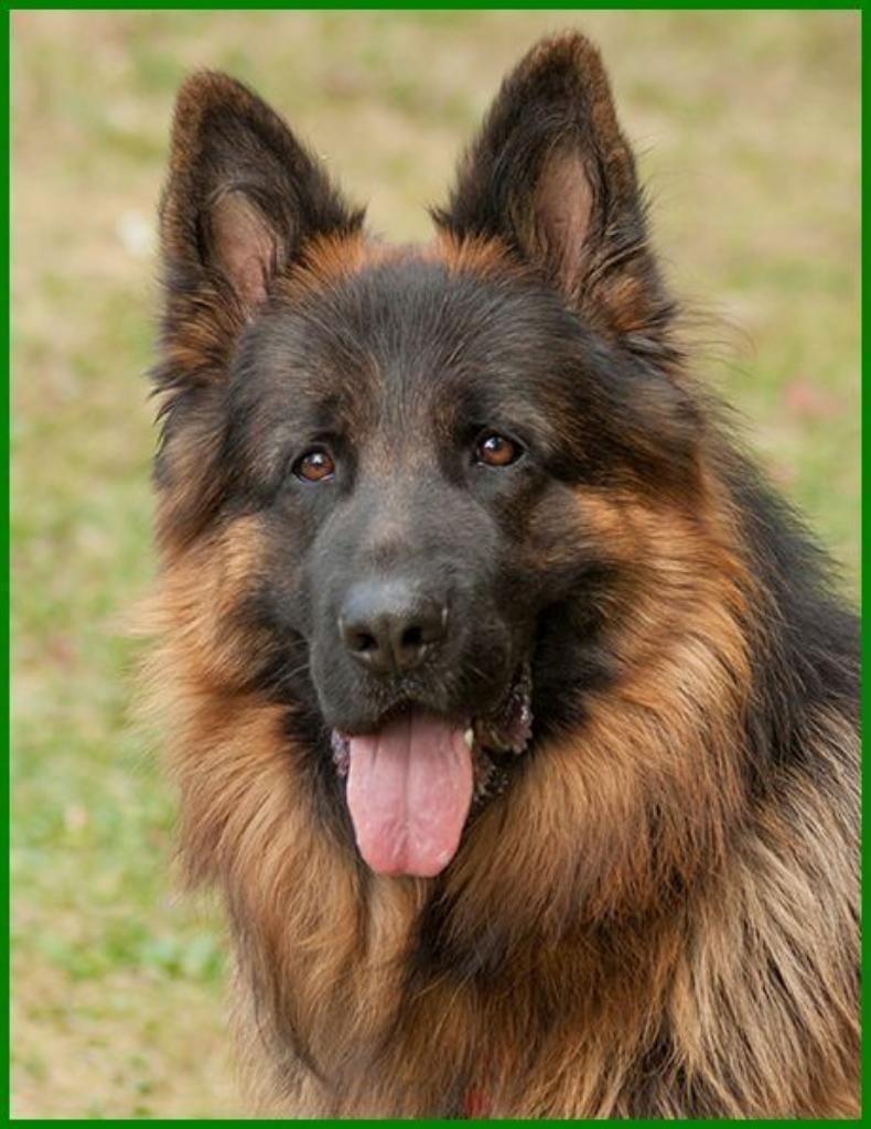 Askan Reinrassiger Langhaariger Schaferhund 2 Jahre Tierhi In Bayern Lauf A D Pegnitz Mischlinge Und Mischli Schaferhunde Langhaar Schaferhund Hunde
