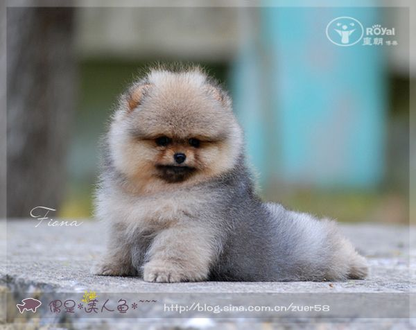 Precious Pomeranian Puppy I Love When They Lay With Their Back Feet Sticking Out Cute Animal Pictures Cute Animals Pomeranian Puppy